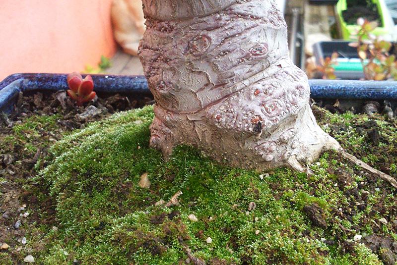 Wurzelansatz Crassula ovata cv. gollum