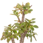 Crassula ovata var. minor