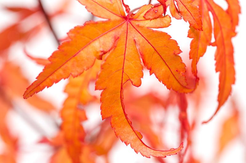 Herbstfärbung grüner Fächerahorn im November