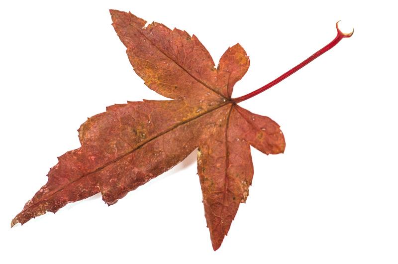 Blatt vom Acer palmatum im November