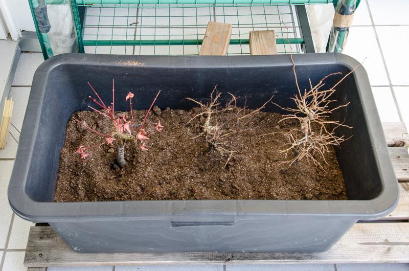 Outdoor-Bonsai im Torf-Sand-Gemisch als Frostschutz