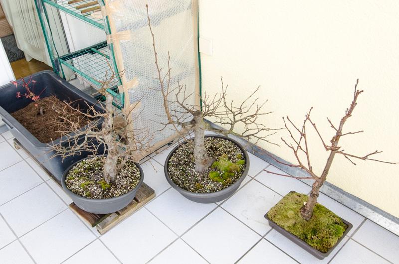 Bonsaiecke im Winter auf dem Balkon