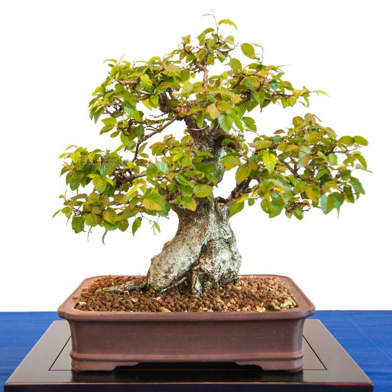 Koreanische Hainbuche (Carpinus coreana) als Bonsai Baum