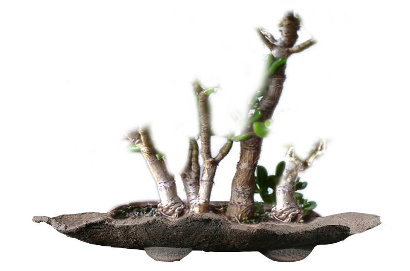 Virtueller Rückschnitt eines Crassula-Bonsai