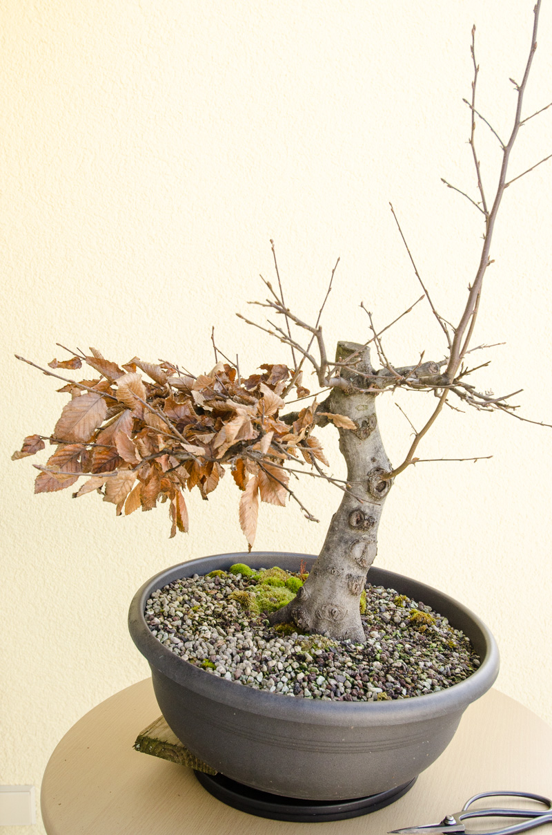 die outdoor bonsai werden auf den winter vorbereitet. Black Bedroom Furniture Sets. Home Design Ideas