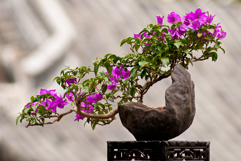 Bougainvillea als Bonsai-Baum