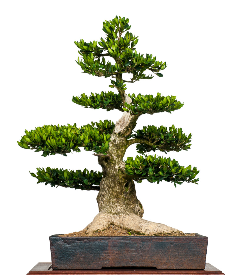 buxus sempervirens buchsbaum als bonsai. Black Bedroom Furniture Sets. Home Design Ideas