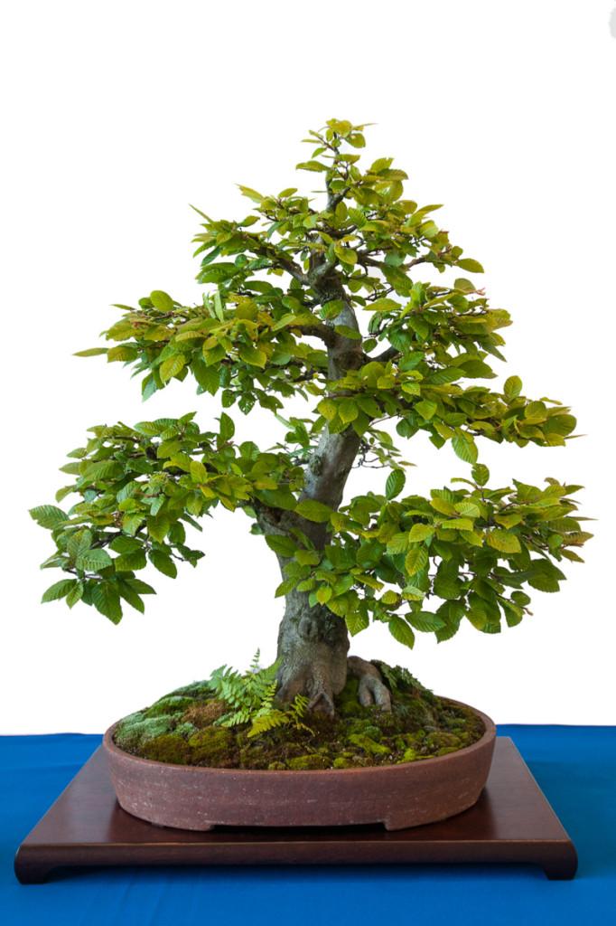 Hainbuche als Bonsai Baum mit Farn und Moos