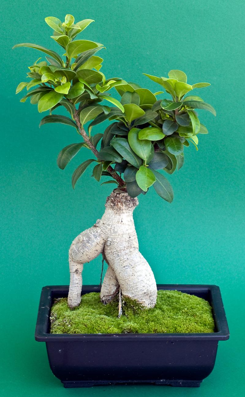 Ficus Ginseng – Bonsai oder Baum?