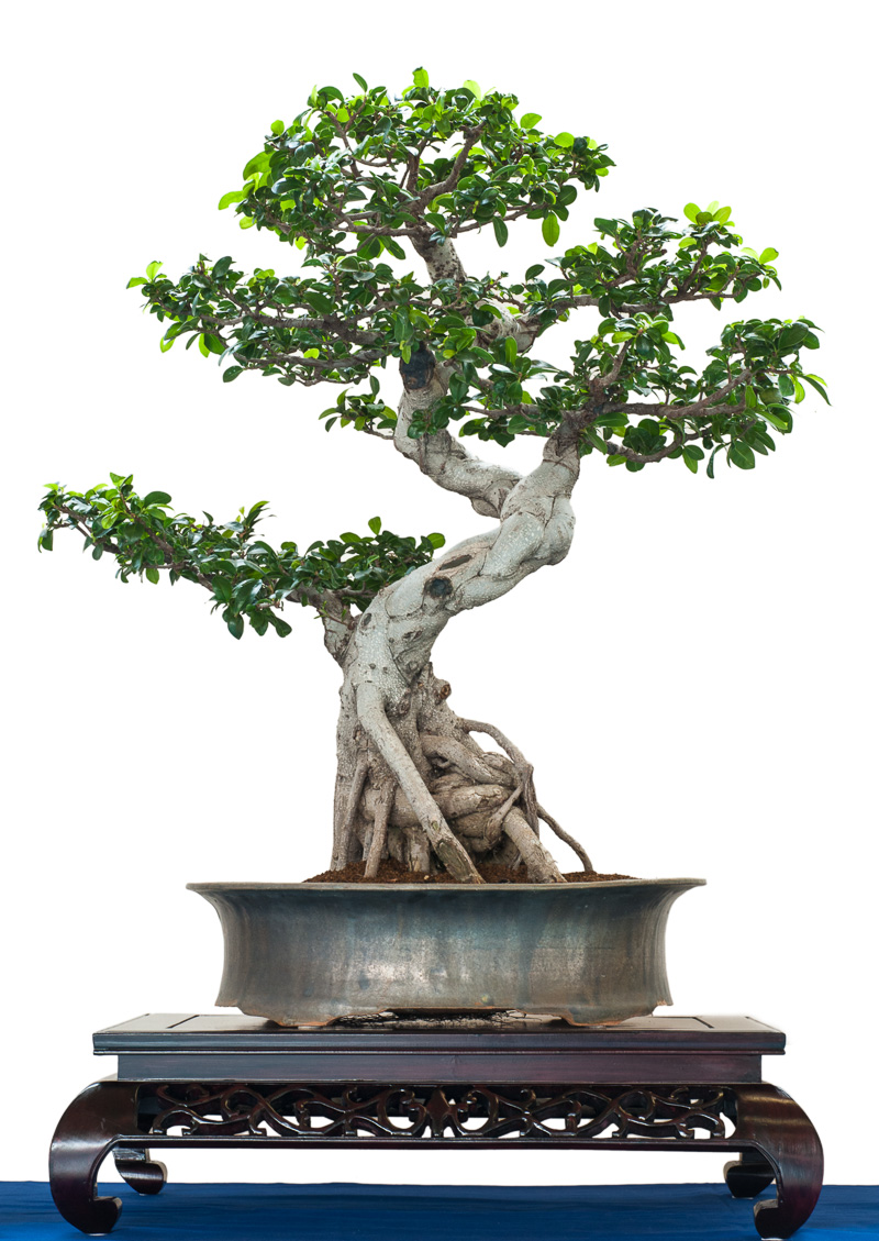 Bayanfeige (Ficus microcarpa) als Bonsai-Baum