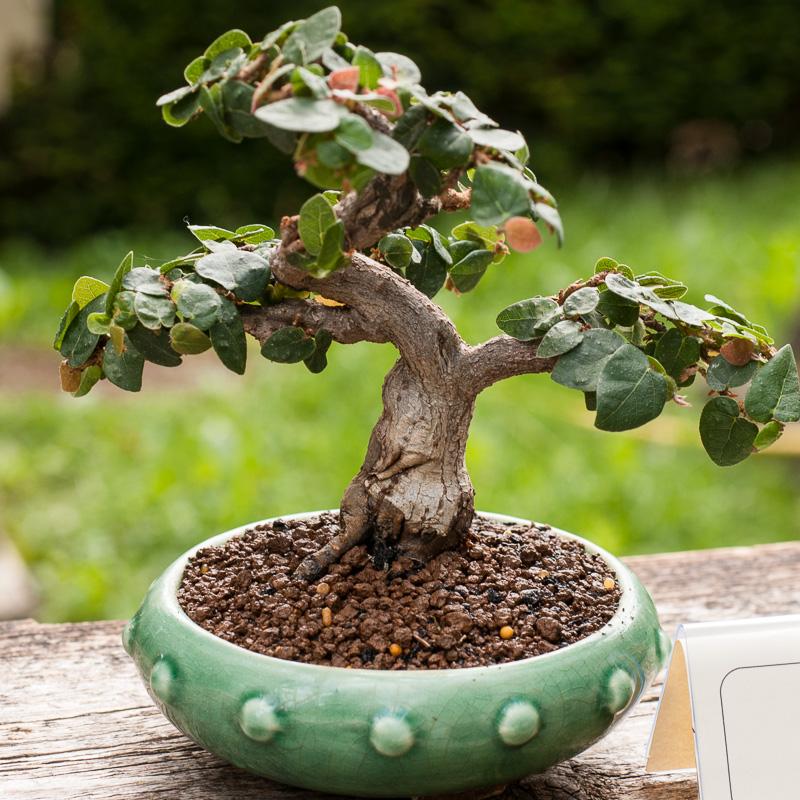 Kletterfeige (Ficus pumila) als Bonsai-Baum