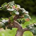Ficus pumila als Bonsai