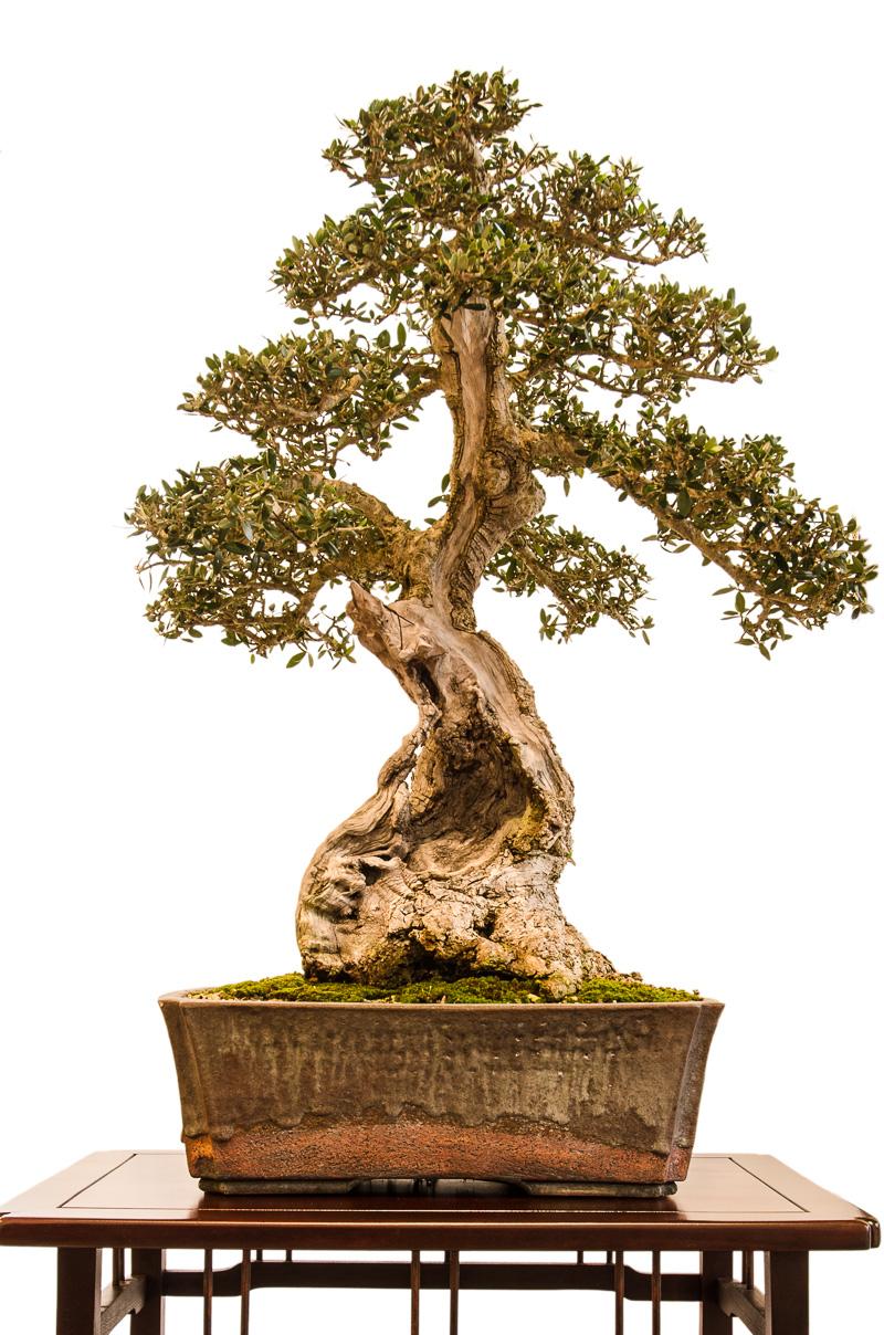 Olivenbaum (Olea europea) als Bonsai-Baum