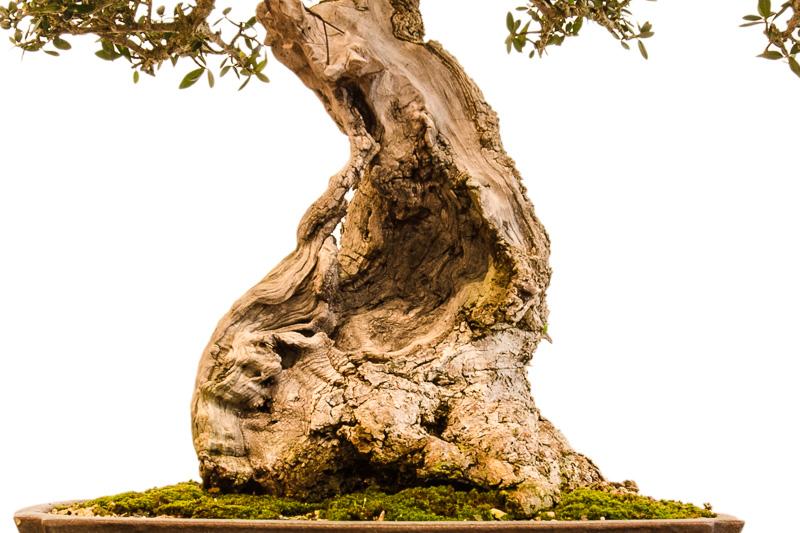 Nebari und Totholz Olivenbaum