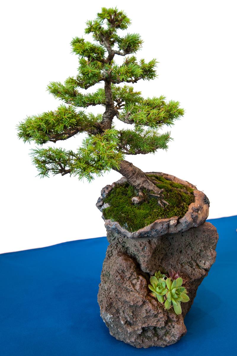 Gemeine Fichte (Picea abies) als Bonsai