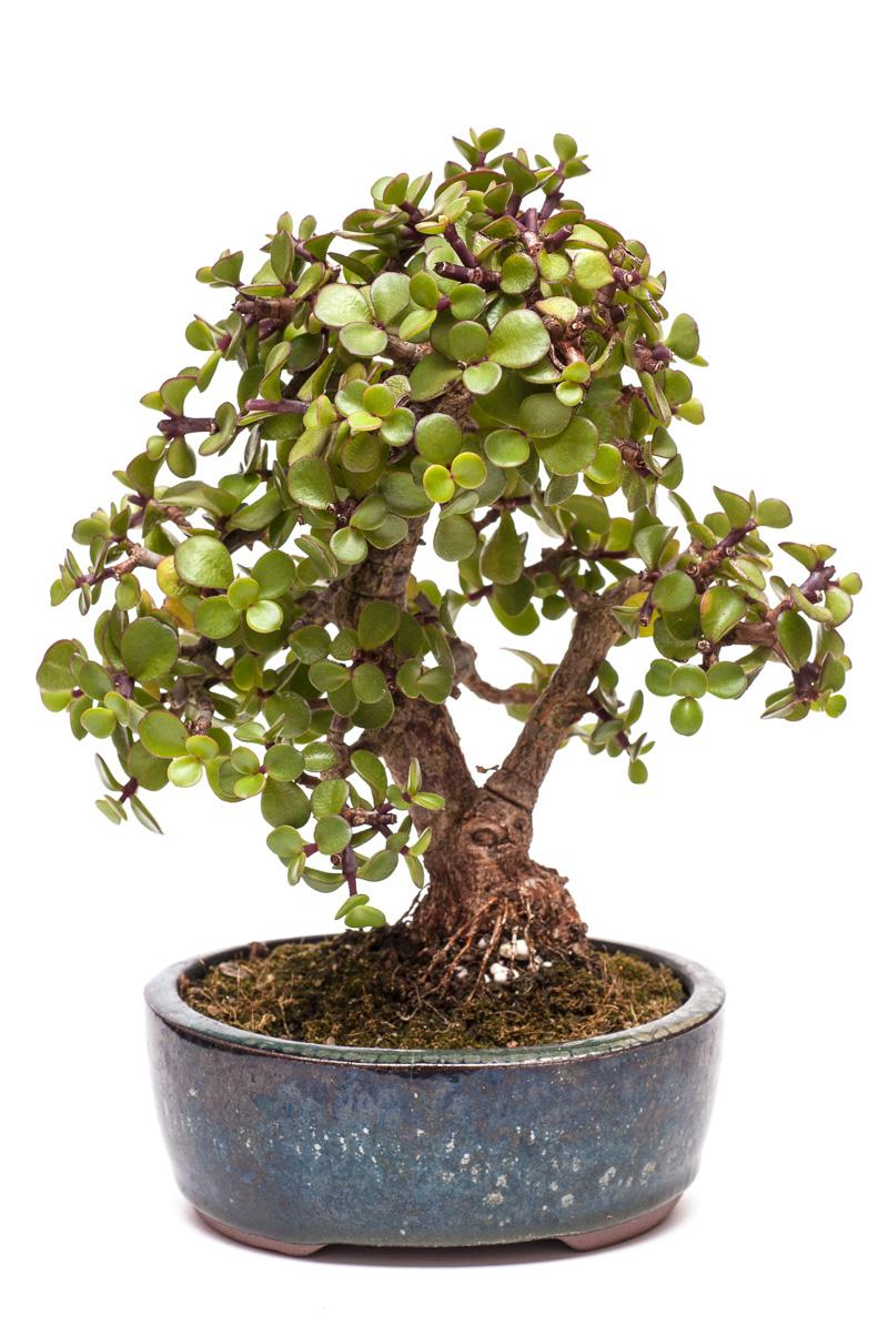 Jadebaum (Portulacaria afra) als Bonsai-Baum