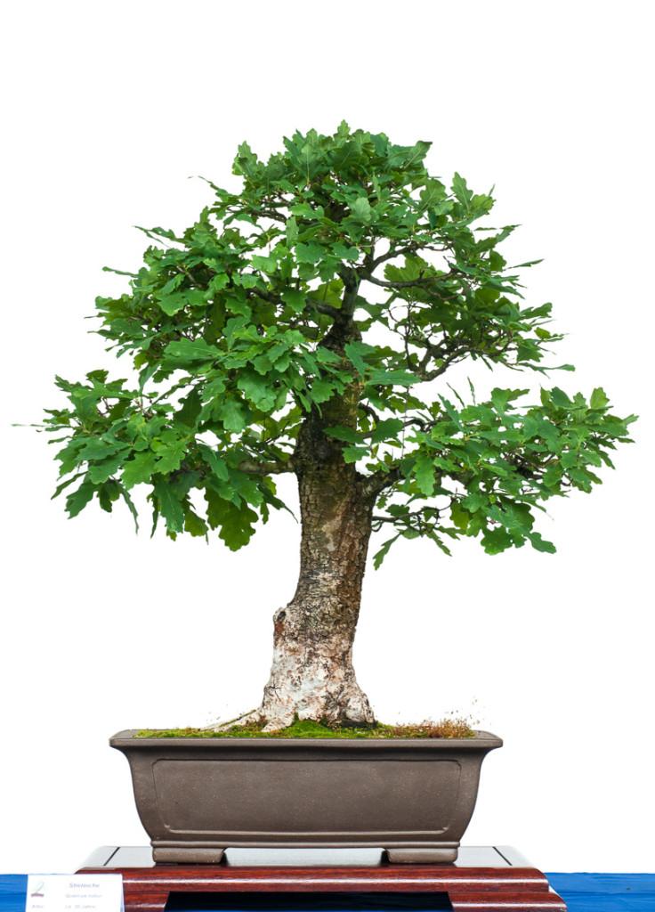 Stieleiche (Quercus robur) als Bonsai