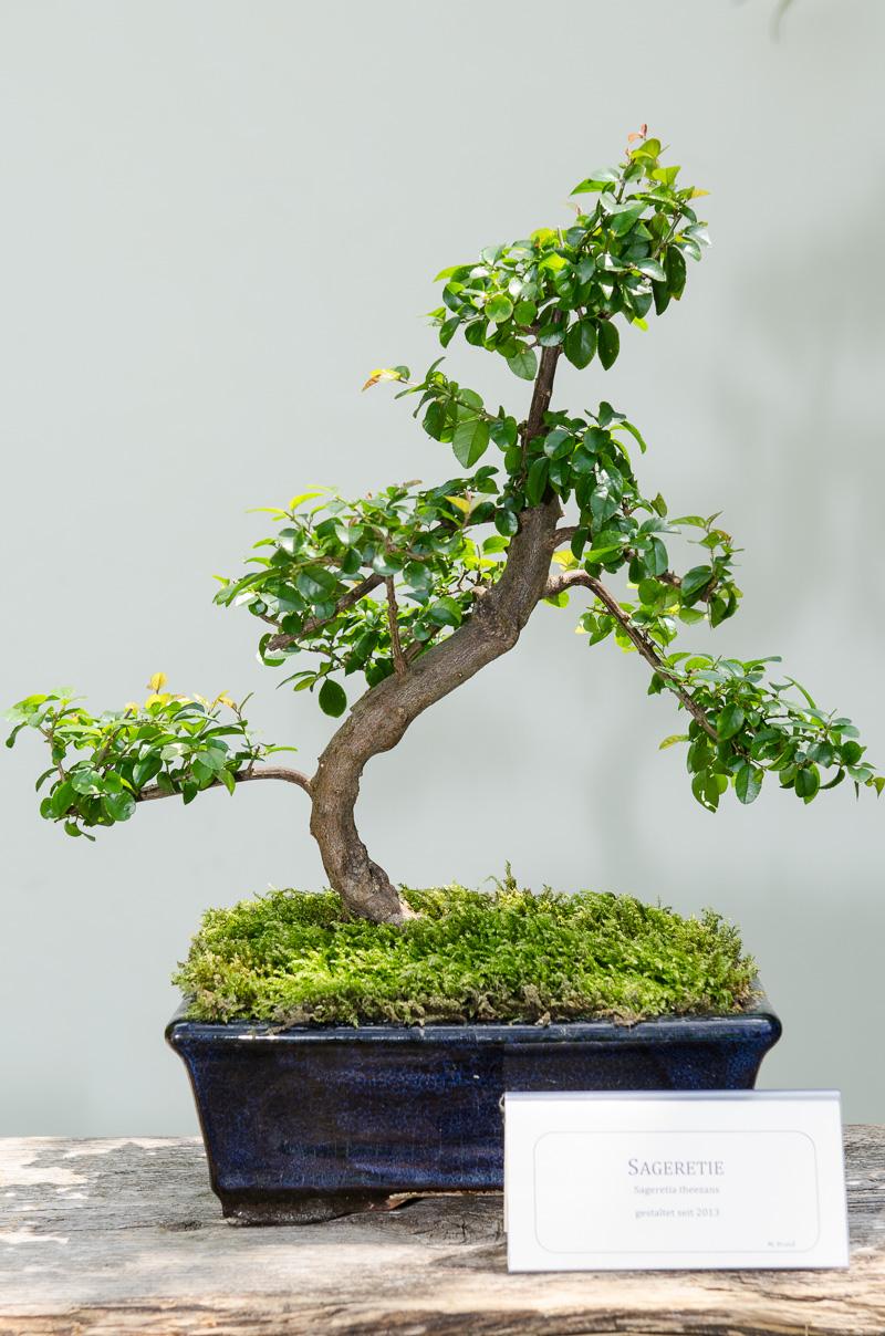 Falscher Tee (Sageretia theezans) als Bonsai-Baum