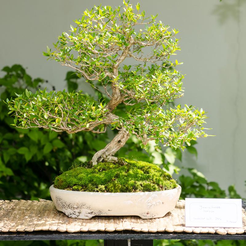 Junischnee (Serissa foetida) als Bonsai-Baum