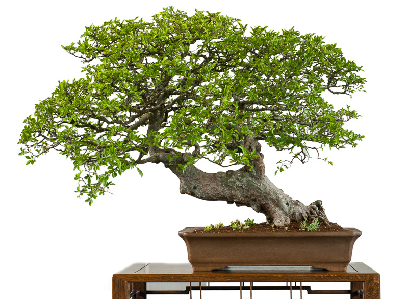 chinesische ulme ulmus parvifolia als bonsai. Black Bedroom Furniture Sets. Home Design Ideas