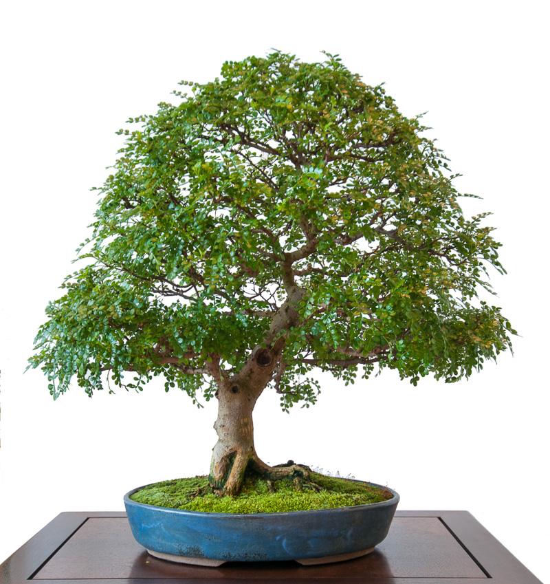Szechuan-Pfeffer (Zanthoxylum piperitum) als Bonsai-Baum