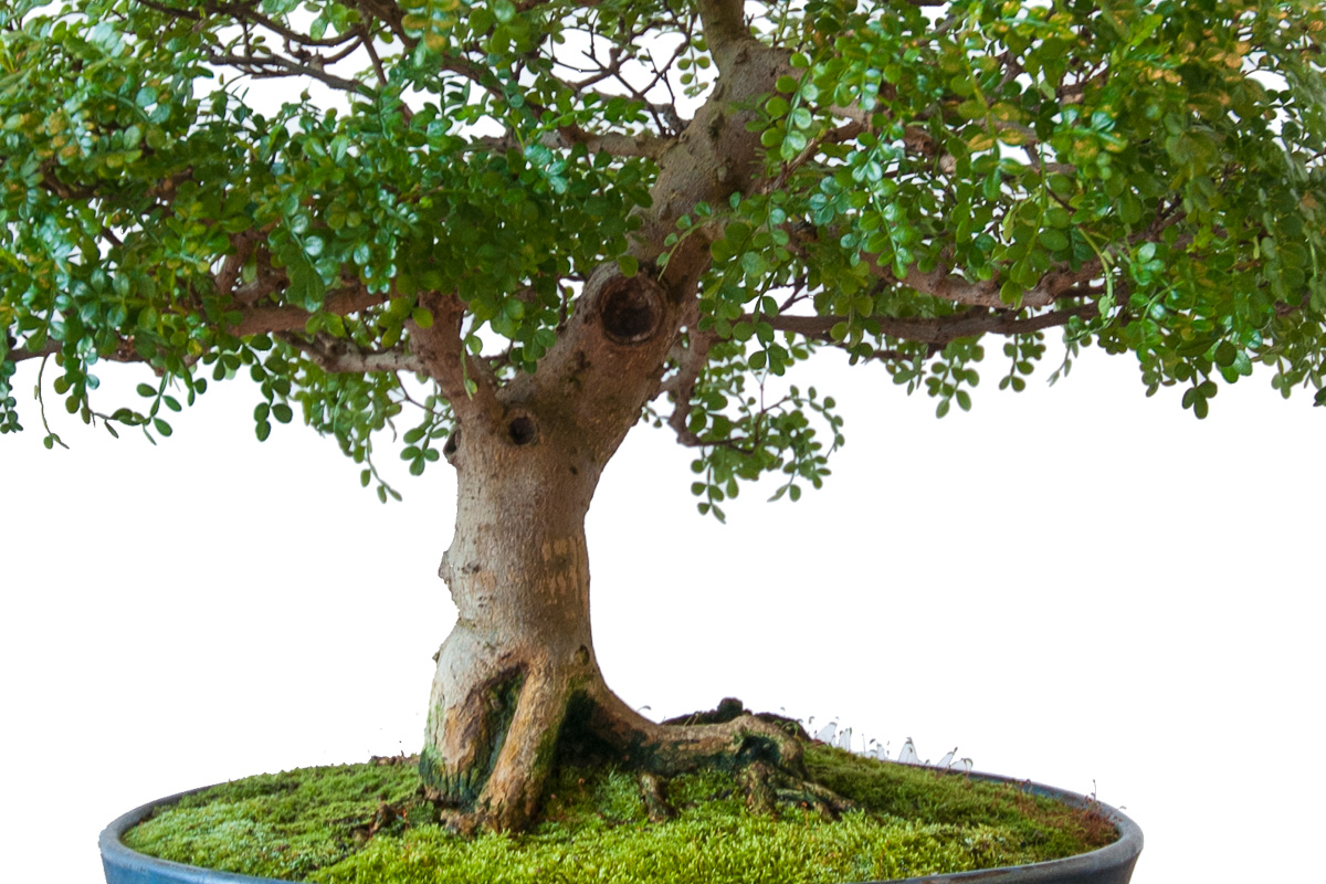 Pfefferbaum (Zanthoxylum piperitum) als Bonsai