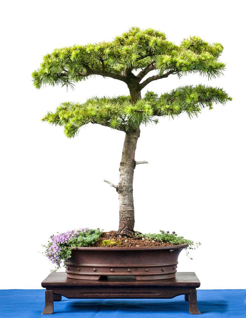 Libanon-Zeder (Cedrus libani) als Bonsai-Baum