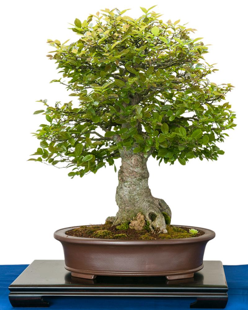 Zürgelbaum (Zeltis chinesis) als Bonsai
