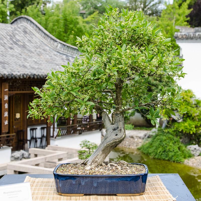 Pfaffenhütchen (Euonymus europaea) als Bonsai-Baum