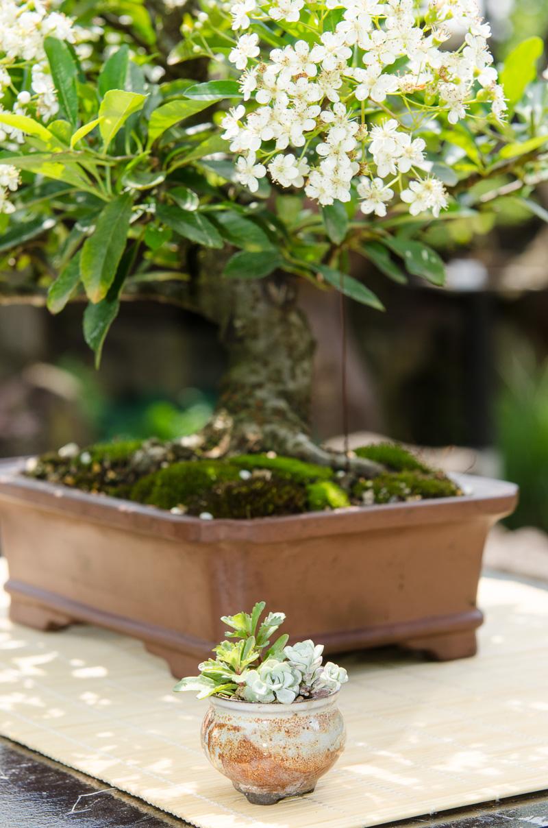 Blühender Feuerdorn als Bonsai-Baum