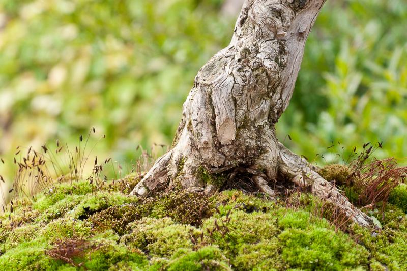 Wurzelansatz einer Heckenkirsche (Lonicera nitida)
