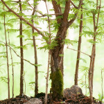 Mammutbaum-Wald (Metasequia) als Bonsai-Baum