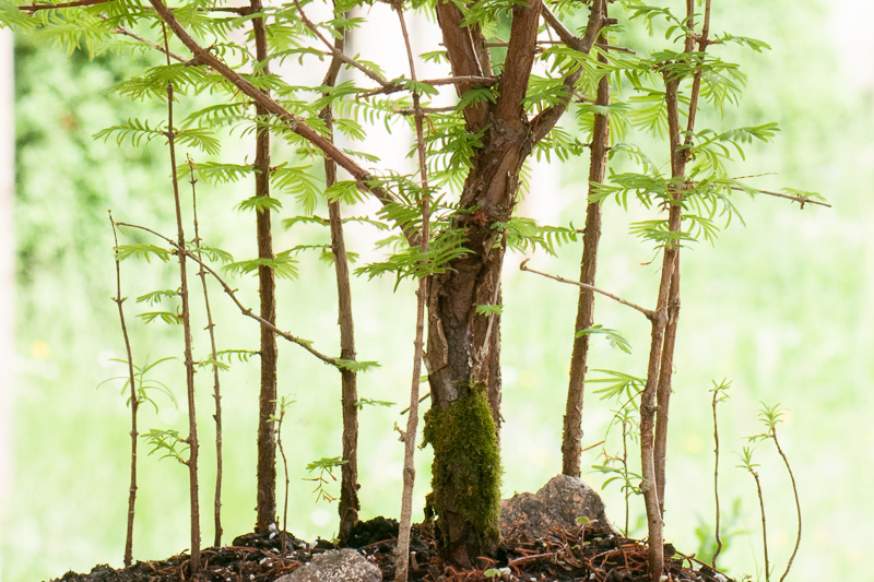 urweltmammutbaum als bonsai. Black Bedroom Furniture Sets. Home Design Ideas