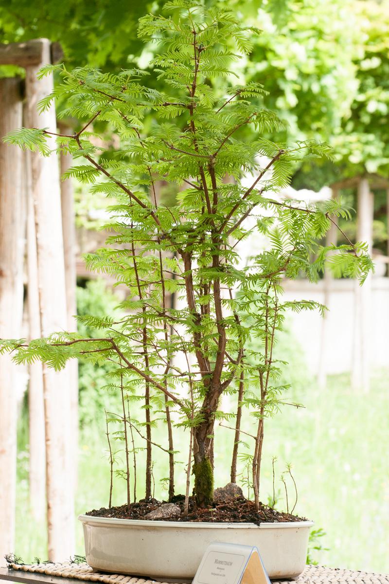 Mammutbaum (Metasequia) als Bonsai-Baum