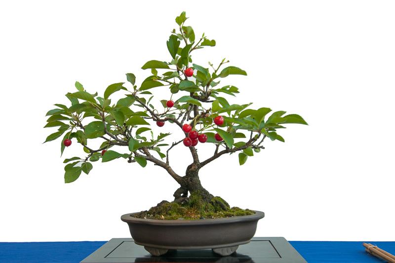 Sauerkirsche (Prunus cerasus) als Bonsai-Baum