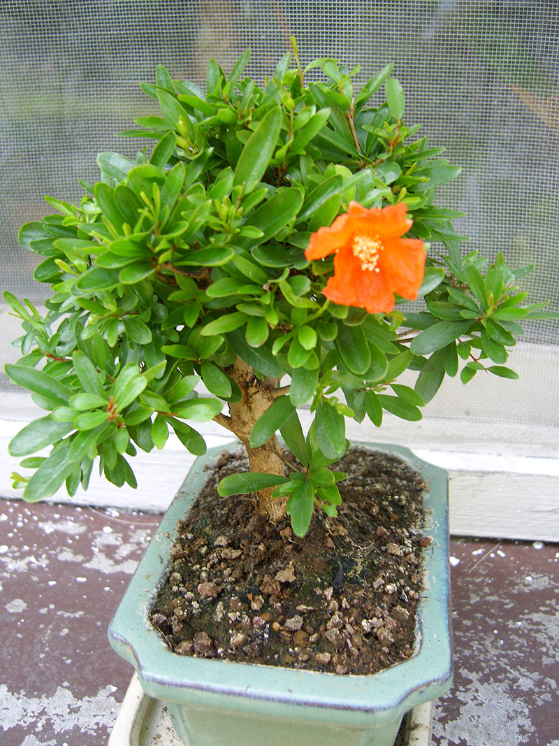 Granatapfel von Sandra 23.05.2007