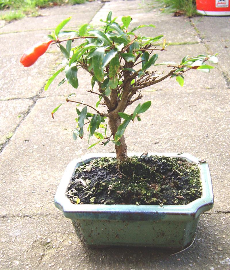 Granatapfel von Sandra #4