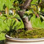 Kirschmyrte als Bonsai