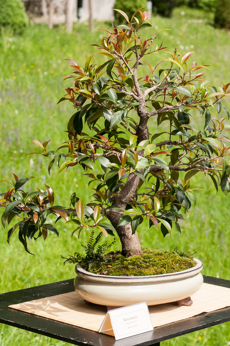 Kirschmyrte (Syzygium paniculatum) als Bonsai