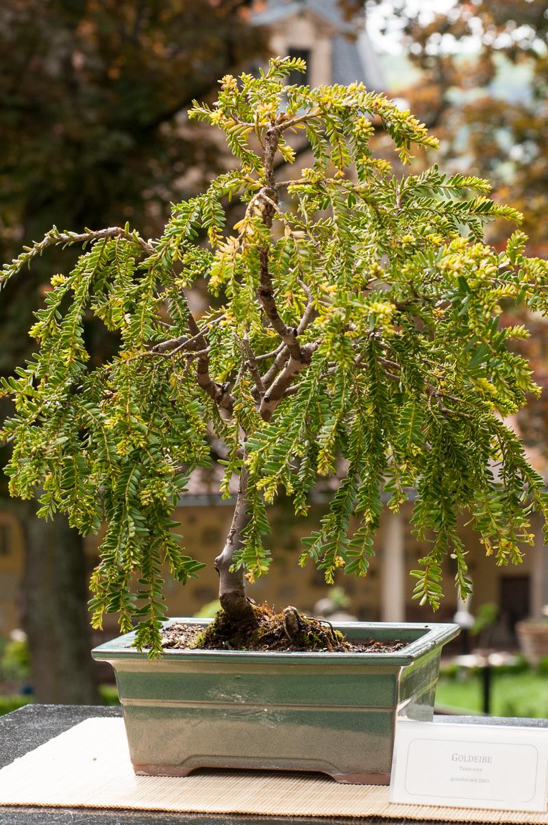taxus baccata aurea gold eibe als bonsai. Black Bedroom Furniture Sets. Home Design Ideas
