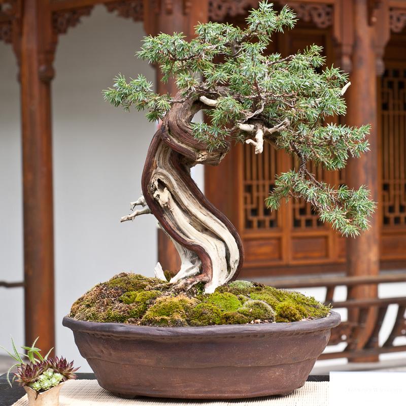 taxus baccata geimeine eibe als bonsai. Black Bedroom Furniture Sets. Home Design Ideas