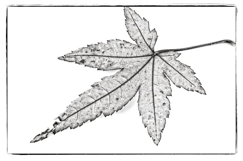 Blatt vom Fächerahorn in Schwarzweiß