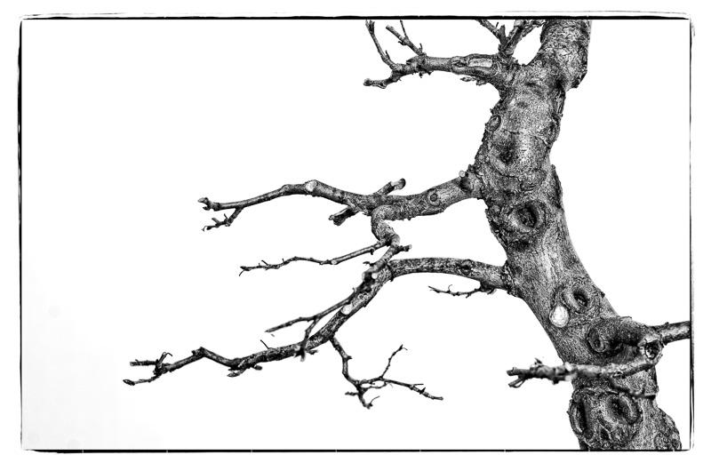 Hainbuche (Carpinus betulus) als Bonsai in Schwarzweiß