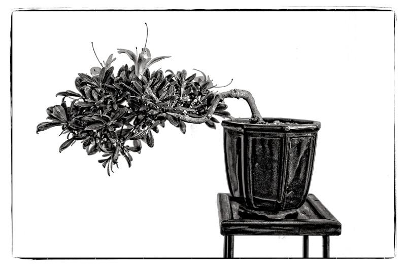 Blühende Azalee als Bonsai in Schwarzweiß