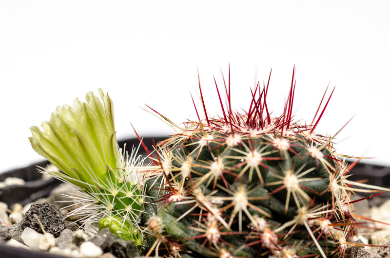 Die erste Kaktusblüte 2014