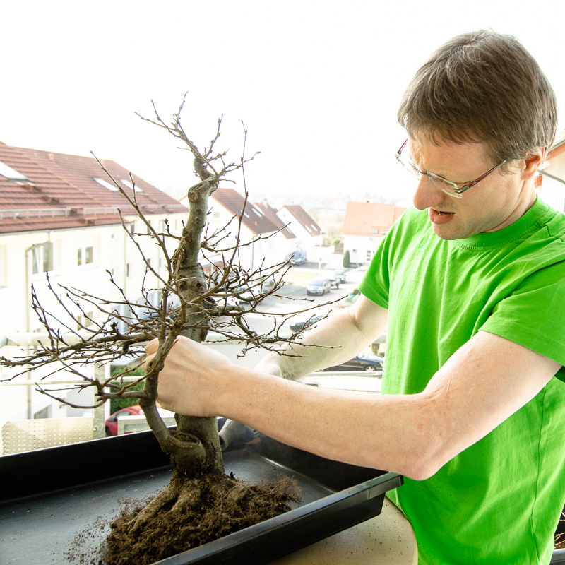 Hainbuche #1 - März 2014 - Wurzel wird mit Fräse bearbeitet.