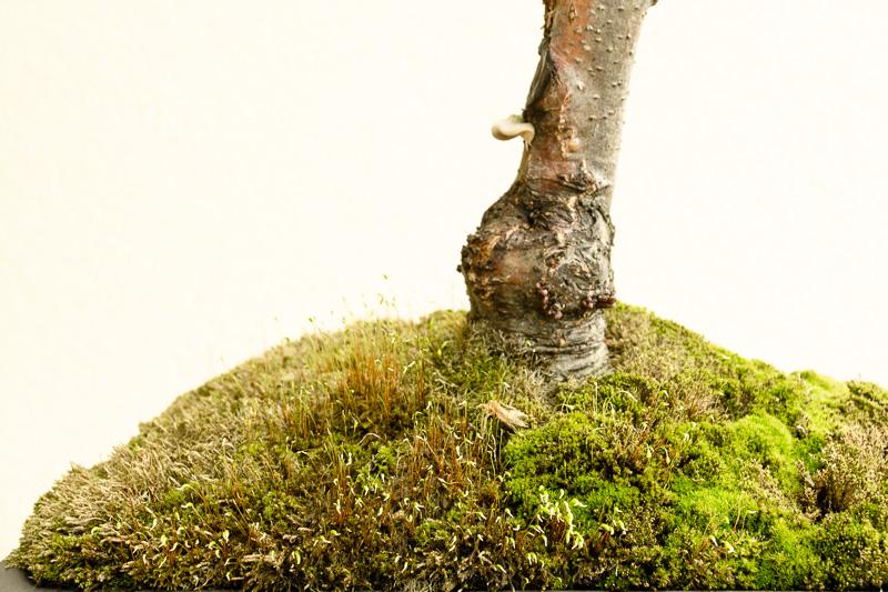 Schwarzerle mit Baumpilz