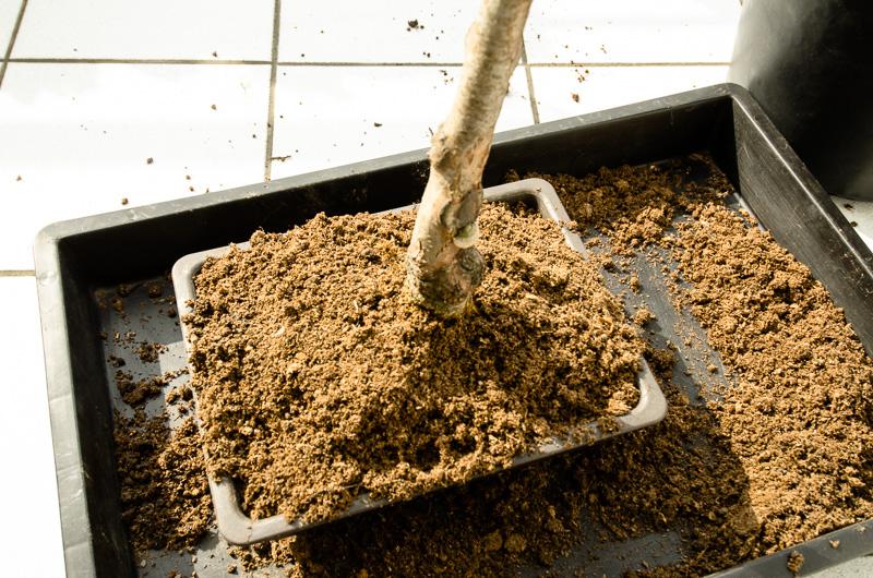 Schwarzerle mit frischem Substrat