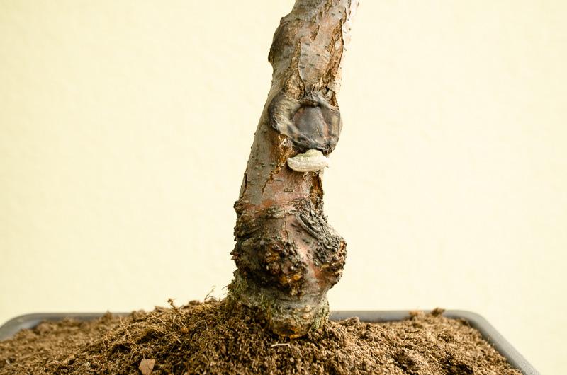 Stammansatz einer Bonsai-Schwarzerle
