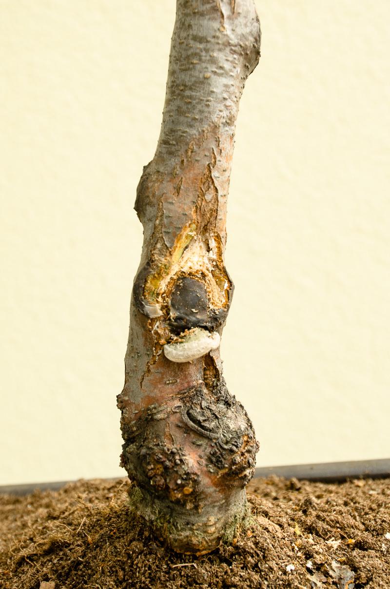 Nachbearbeitung Schnittstelle an einer Schwarzerle